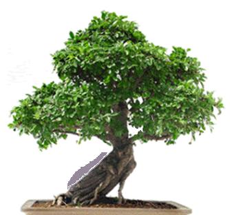bonsai entretien arbre