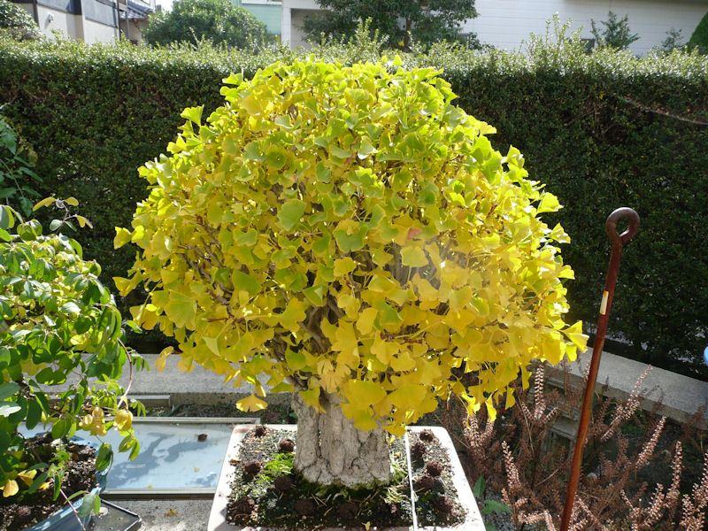 feuille de bonsai