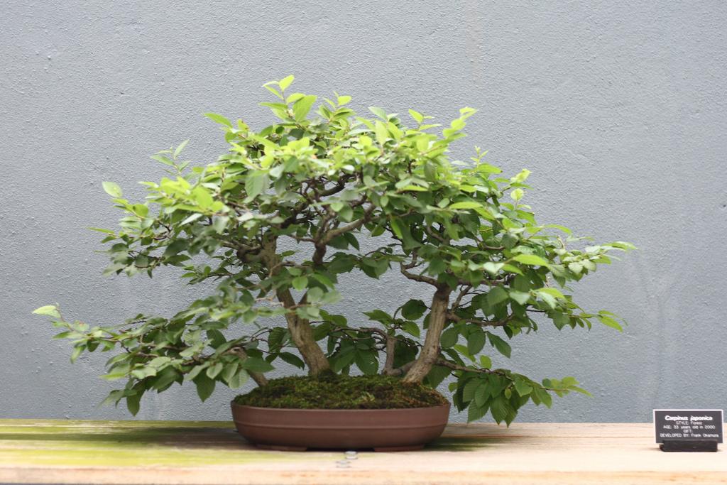 Bonsai Charme