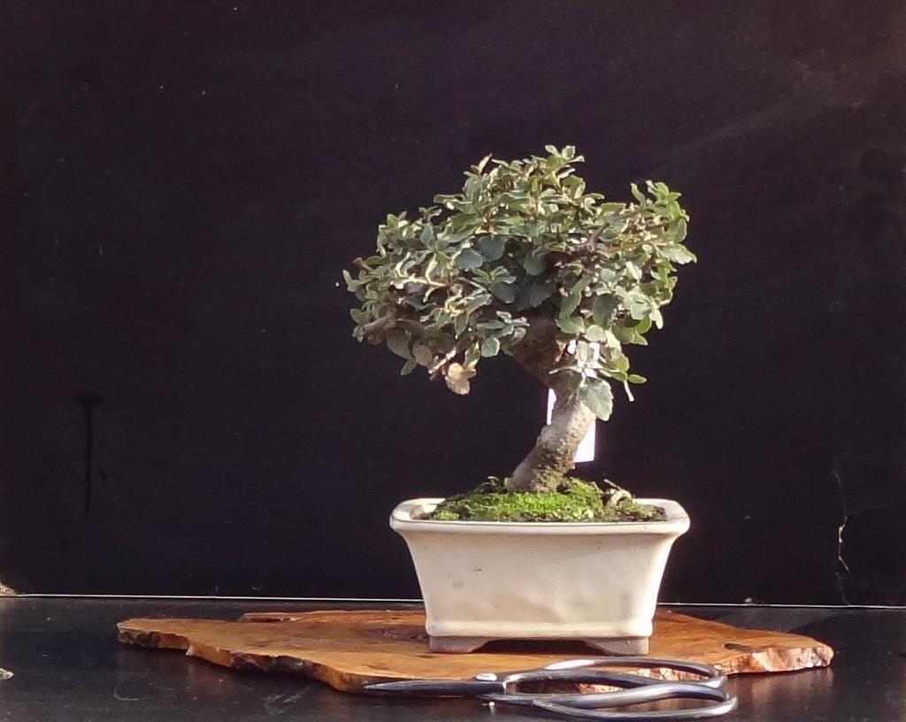 Bonsai chêne