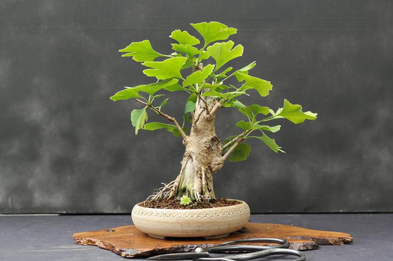 bonsai ginkgo biloba bonsai entretien. Black Bedroom Furniture Sets. Home Design Ideas